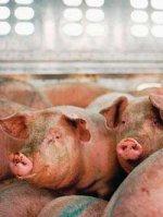 Поставки хрюкнулись. Из-за карантина по африканской чуме свиней переработчики могут потерять рынок сбыта