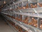 ЮАР: птицеводы предупреждают о скачке цен на продукцию птицеводческой отрасли