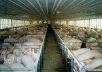 В Алтайском крае реализуют крупный проект по производству свинины