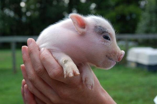 В Алтайском крае выводят новую породу свиней— алтайскую мясную