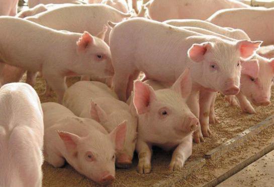 Россия: В Татарстане за полгода произвели 50,3 тыс. тонн свинины