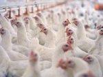 Перед Украиной открываются новые горизонты на мировом рынке курятины