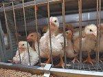Птицефабрики Ленобласти оказались в тяжёлом положении