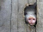 Беларусь запрещает держать свиней на малых фермах