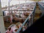 Краснодарский край: кубанским свинофермам придется переехать