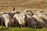 Фермерам предлагают сменить свиней на коз и овец
