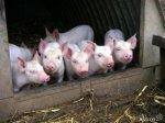 У белгородских частников забрали 59 тысяч свиней
