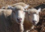 Иран вложит в Белоруссии на разведение баранов $20 млн