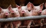Россельхознадзор отменил временные ограничения на ввоз в Россию племенных свиней из Литвы