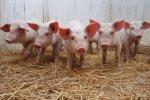 Беларусь запретила поставку свинины из Владимирской области РФ