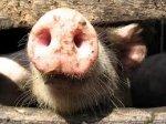 Распространение АЧС неожиданно оказалось российским производителям мяса на руку