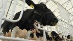 Украинскую говядину отправят на экспорт