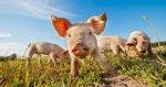 Россельхознадзор: Распространение АЧС угрожает территории Евросоюза