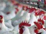 Китай получил зеленый свет на экспорт птицы в США