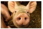 Что влияет этой осенью на американский свиной рынок?