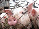 Белгородская область оценивает последствия африканской чумы свиней