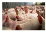 Американский экспорт свинины в июле вырос