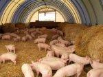 Пермский свинокомплекс за полгода заработал более 100 млн руб.