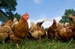 За 2008-2012 гг. поголовье птицы в России возросло на 22%