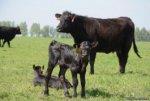 В 2013 году в Калининградскую область приплывёт ещё шесть тысяч коров из США
