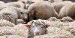 В Калининградской области будут развивать овцеводство и козоводство