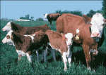 В Зауралье зарегистрирован первый племзавод по разведению мясного скота