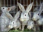 Россия и Китай создадут совместное производство мяса кроликов