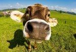 Слабый евро и сильный сезонный спрос давят на британский рынок говядины
