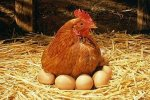 «Рефтинская» увеличила инкубационные мощности