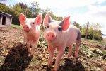 Всем украинцам хватит свинины