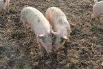 Беларусь запретила ввоз свинины из Волгоградской и Тульской областей РФ