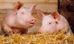 В Украину заходит второй по величине производитель свинины в США