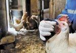 Калужских птицеводов подвергнут тотальной вакцинации