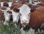Мясо стало дешевле. Южноуральское сельское хозяйство идет на подъем
