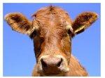 Цены на коров на американских рынках достигли нового рекорда