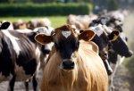 Россельхознадзор хочет в феврале проверить животноводческие предприятия Новой Зеландии