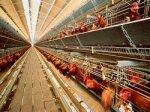 Более 70% украинских производителей яиц не соответствуют стандартам ЕС