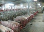 Фермеры-свиноводы остались без госдотаций