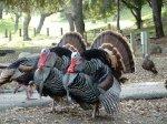 Россия может возобновить поставки мяса индейки с двух предприятий США