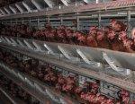 Птицефабрики холдинга «Кировхлеб» перепрофилируют на бройлерное производство