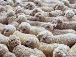 Экспортировать баранину в Иран планируют в Восточно-Казахстанской области