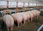 В Ленобласти упала рентабельность птицеводства и свиноводства