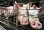 На Дону началась ликвидация свиней, больных АЧС