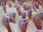 На Ставрополье в 2014 году появится комплекс по выращиванию и переработке мяса индейки