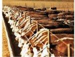 МСХ США: Поголовье скота на откорме сократилось на 8 %