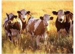 США: Все факты указывают на восстановление стада КРС