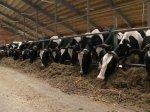 В Воронежской области поголовье крупного рогатого скота увеличилось на 8 %