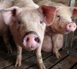 Испания признана второй по величине страной-производителем свиней в Европе