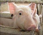 Модернизация свинокомплекса «Пермский» потребует 750 млн руб.