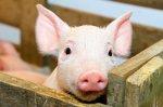 Россия за 9 месяцев нарастила поголовье свиней на 103%